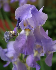 Iris With A Fuzzie Thing (btn1131) Tags: flowers iris plants nature floral spring sony a100