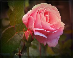 For Tony (MissyPenny) Tags: pink flowers roses summer garden spring buds buckscounty bristolpennsylvania kodakz990 pdlaich ©pdlaich photochallenge158roseswinner missypenny