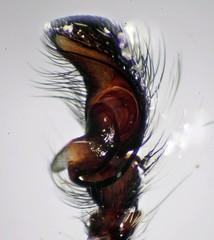 Palp of Philaeus Chrysops (Salticidae) (iainrmacaulay) Tags: france male spider jumping salticidae philaeus chrysops palp