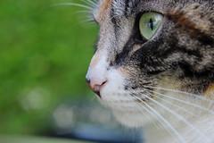 Bella (s e l m a) Tags: cute closeup cat canon 50mm eyes bella 600d