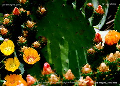 Cacti in bloom (121alorafotos) Tags: wild vacation espaa holiday plant flower green dogs nature rio yoga cacti bug river casa spain stream peace wasp view natural wildlife reserve insects bugs hills bee retreat bloom imagine remote meditation biology malaga ancon isolated arroyo zoology entomology insecto alora frute