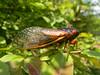 Periodical Cicada (connecticutpete) Tags: magicicada periodicalcicada magicicadaseptendecula