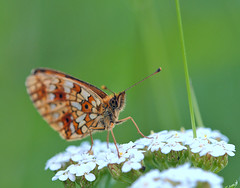The Small Pearl-bordered Fritillary (Boloria selene) (Gnilenkov Aleksey) Tags: macro closeup insect small fritillary selene the pearlbordered boloria fujixpro1