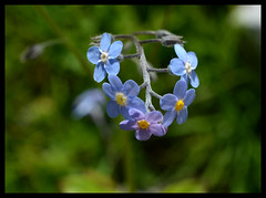 forget me not (nadette2009) Tags: flowers nature forgetmenot
