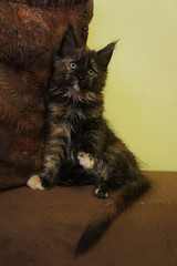 Bijou (Perfect Cat*UA) Tags: black cat kitten maine coon mainecoon tortie
