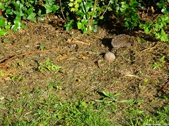 Hedgehog_06 (O Suave Gigante) Tags: ireland blackwater wexford curracloe ballinesker ballinaclash ballyconnigar ravennaturereserve ravennaturereservewexford ballynaclash