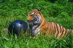 bengal tiger (loco's photos) Tags: animals cat zoo virginia pentax wildlife tiger richmond bigcat bengal metrorichmondzoo k30 dal55300