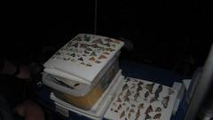 IMG_6545 (chrisdarlingca) Tags: asia year insects naturalhistory lepidoptera sarawak malaysia trips geography camp2 2013 gunungmulunp sarawak2013 |geography|asia|malaysia|sarawak|batangai|nangadeloklonghous |geography|asia|malaysia|sarawak|batangai|nangadeloklonghouse|