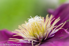 20130615_1901_Clematis (Rob_Boon) Tags: flower macro clematis tuin wijlre robboon