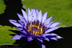 Water lily (ddsnet) Tags: plant flower waterlily sony taiwan 99   taoyuan aquaticplants  slt        lily water    nymphaeatetragona    nymphaea plants   singlelenstranslucent aquatic nymphaea tetragona 99v 99v tetragona