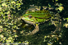 Froggy 2