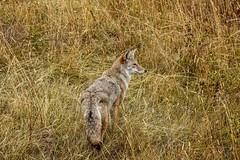 Coyote at GNP (SaunTek) Tags: coyote nature wildlife