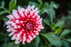 Dahlia Red Majorette (AMO Myndir) Tags: pink dahlia red summer white plant flower green nature closeup iceland bright outdoor background vivid clear corona majorette