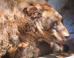 Blackie (MeganSpooner) Tags: bear brown animal fur mammal zoo furry sandiegozoo blackie brownbear manchurianbrownbear