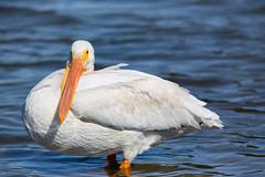 Pelican at Miller/Knox Regional Park (Sandylp1) Tags: pelican millerknoxregionalshorelinepark ebparksok