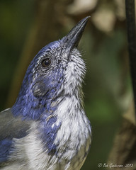 Western Scrub-Jay (Bob Gunderson) Tags: california birds northerncalifornia eastbay jays alamedacounty westernscrubjay aphelocomacalifornica corvids coyotehillsregionalpark
