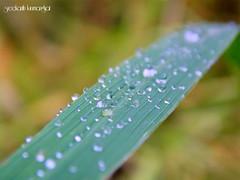 rain drops (sreekanth kurumanghat) Tags: rain candid candidphotography mazha sreekanth irinjalakuda nedumbal kurumanghat