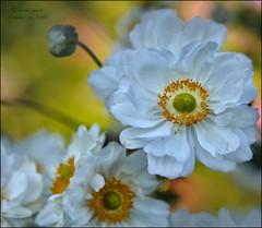 WHITE ANEMONES IN THE SHADE (susies.genii) Tags: flower macro anemones chrysanthemum nybg kiku newyorkbotanicalgarden bronxny whitepetals outdoorgarden enidahauptconservatory creativeediting artisticediting october152013 artofthejapanesegarden kikuchrysanthemumshow