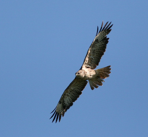 "Buzzard • <a style=""font-size:0.8em;"" href=""http://www.flickr.com/photos/30837261@N07/10722507864/"" target=""_blank"">View on Flickr</a>"