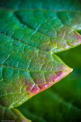 Autumn Leaves (eaglekepr) Tags: trees plants macro tree leaves photography leaf suffolk unitedkingdom sumac staghorn 50mmreversed focusstack bartonmills canoneos7d ef100mmf28lmacroisusm