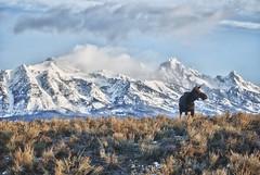 Musing (CoreyRondeau) Tags: mountains nature beautiful america landscape nationalpark wildlife moose jackson yellowstone wyoming tetons nationalparks grandteton jacksonhole musing grandtetonnationalpark yellowstonepark coreyrondeau
