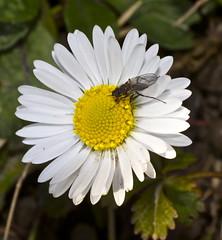 Bellis perennis (Filippo Guzzon) Tags: daisy margherita bellis isola borromeo perennis dadda cassano dittero