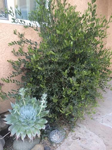 Simmondsia chinensis and Dudleya brittonii