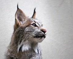 Lynx Portrait (Pauline Brock) Tags: zoo montreal biodome lynx
