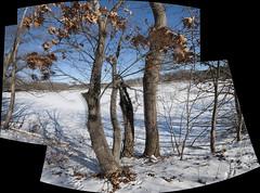 DSC_9304D80a  Trees   2014 Paul Light (Paul Light) Tags: trees arlington massachusetts calico arlingtonreservoir