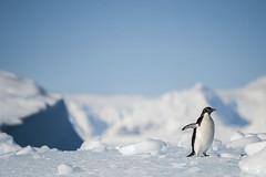 Antarctica 193 (Morten Skovgaard) Tags: travel snow cold ice expedition nature animals penguin penguins wildlife antarctica adventure seal seals iceberg zodiac polar rare plancius southpole antarktis sydpolen mortenskovgaard oceanwideexpeditions godknd