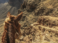 Looking back (IthacaBarbie) Tags: grandcanyon trail mule