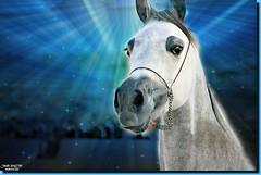 ARABIAN STALLION-24 (jawadn_99) Tags: blue red horses horse favorite white black art animal poster photography fantastic flickr gulf vivid scout arab contacts kuwait arabian activity simply photoart app raising galope vividimagination supershot stalion mygearandme horses22 interrestigness jawadn99