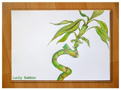 Lucky Bamboo drawn by me (Ginas.Doll.ART) Tags: plant green drawing pflanze drawn bleistift zeichnung luckybamboo glck colorpencils fabercastell polychromos glcksbambus