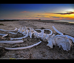San Ignacio Whale Bone Sunset  Baja California, Mexico (Sam Antonio Photography) Tags: sunset sea vacation sun seascape latinamerica animal horizontal landscape mexico skeleton mammal outdoors day pacific dusk lagoon mexican pacificocean bones bajacalifornia baja beachsunset pacificcoast whalewatching sanignacio animalsinthewild travelphotography bajamexico colorima