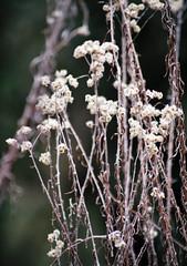 Wild beauty (Sougata2013) Tags: wild india mountain flower macro nature forest spring nikon hill himalaya mandi himachal hilltop himachalpradesh nikond3200 dhuaandevi