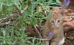 Cache cache (Graffyc Foto) Tags: baby animal cat photo nikon chat flickr foto photographie felix bebe cache mm 18 animaux joue petit chaton felin 2014 d300 joueur jouer photographies a graffyc