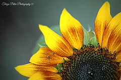 Sunflower (Terezaki ✈) Tags: travel summer sun plant black flower macro green nature yellow closeup photography photo spring nikon europe searchthebest d70 athens greece sunflower tamron pictureperfect naturesfinest flowerscape 100faves 150favs 50faves 100favs 150faves 80faves anawesomeshot flickrdiamond theperfectphotographer natureselegantshots