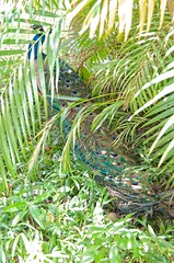 shake your tailfeathers (lynn.h.armstrong) Tags: blue light sun ontario canada fern tree green bird art grass america photography photo aperture nikon long flickr photographer shadows wordpress south tail central feathers royal peacock blogger images palm resort lynn livejournal hidden h getty shake panama hiding armstrong stormont facebook sault farallon ingleside decameron twitter tumblr d7000 lynnharmstrong pinterest