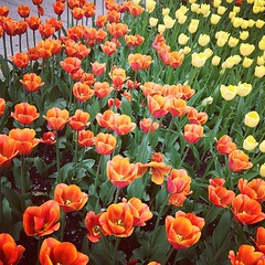 Downtown Holland Yellow Orange tulips (stevendepolo) Tags: orange holland yellow square downtown tulips squareformat hudson iphoneography instagramapp uploaded:by=instagram