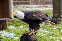 Looks like ski jumping (Bill_Morisson) Tags: bird birds animal animals germany deutschland tiere eagle adler baldeagle olympus vgel tier vogel omd em1 wisentgehege weiskopfseeadler wisentgehegespringe mzuiko mzuiko40150mm omdem1 olympusomdem1