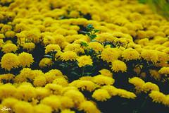 chrysanths (iSam's) Tags: new flowers plants holiday plant flower tree green nature rice year mums viet chi daisy bloom ho tet minh chrysanthemum lunar nam flourish chrysanths florish