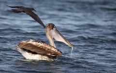 Galapagos-20140714-1651-BK2W4186-Edit (Swaranjeet) Tags: birds pelican pelicans galapagos ecuador bird largebirds july2014 canon fullframe 1dx eos1dx dslr sjs swaran swaranjeet swaranjeetsingh sjsvision sjsphotography swaranjeetphotography 2014 eos canoneos1dx 35mm ef pro 200400 canonef200400mm canonef200400mmf4lisusm14x singh photographer thane mumbai india indian