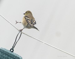 The Wallenda Bird (Explored) (Carolyn Lehrke) Tags: winter birds walking clothesline americangoldfinch lewisburg highwire explored wallenda greenbriercounty inexplore usawv carolynlehrke