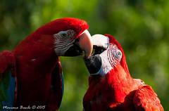 Amor animal (mnb_mariano07) Tags: animal bokeh sony sigma aves 70300mm bioparque a700 temaikén guacamayos