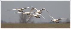 Mixed Bag - Whoopers and Mutes (CliveDodd) Tags: swans mute whooper cygnus cygnuscygnus olor