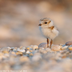 Little cutie (v4vodka) Tags: nature animal wildlife chick birdwatching plover pipingplover shorebird charadriusmelodus greatphotographers pipingploverchick birdbirding sieweczkablada