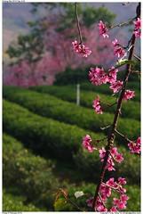 Sakura blossoms .Doi Mae Salong, Chiang Rai ( Fongky) Tags: pink flowers thailand teaplantation chiangrai  doimaesalong sakurablossoms santikhiri
