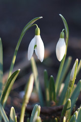 Sneeuwklokjes (Ralph Apeldoorn) Tags: flower nature netherlands spring nederland lente snowdrop galanthus bloem sneeuwklokje heemskerk