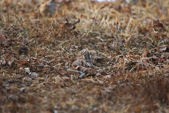 American tree sparrow near Decorah IA 854A1014
