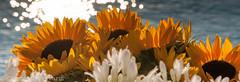 DSC_0597.jpg (Ferraris Clemente) Tags: sardegna blue rose yellow nikon sardinia blu rosa giallo sunflower fiori azzurro girasole clemente ferraris d90